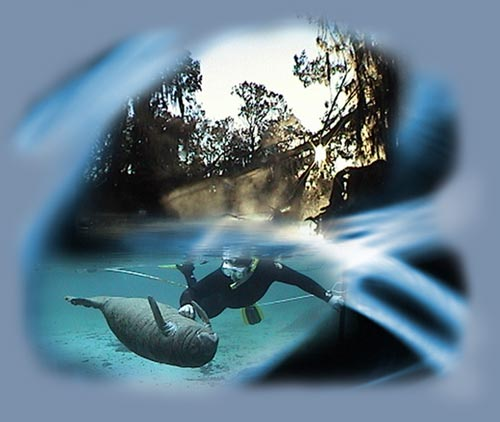 swimming with Manatees, diving snorkeling with a Manatee, Florida